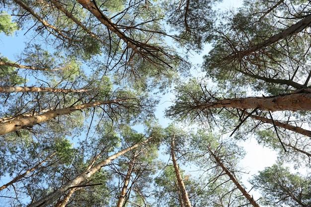 青い空を背景の松の木の上。アクティブレジャー
