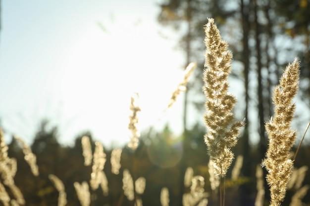 森の背景、テキスト用のスペースに対して背の高い乾いた草