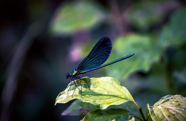 Изумрудная стрекоза сидит на зеленом листе