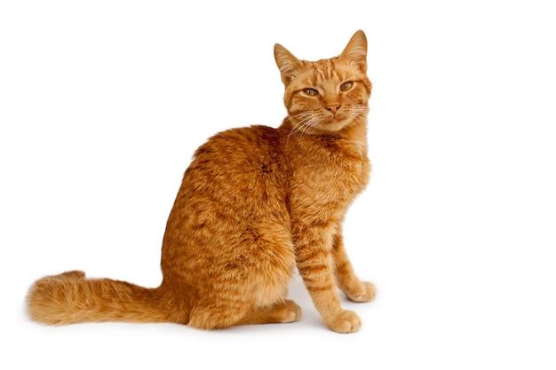 Сидящий рыжий кот