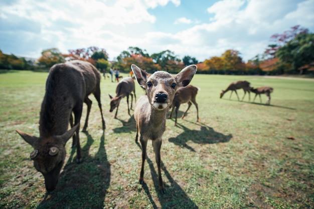 奈良公園、京都、日本の鹿と動物