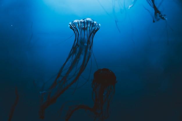 Медузы плавают в аквариуме
