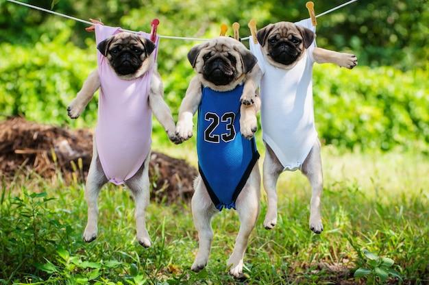 Веселые щенки мопса весят на бельевой веревке