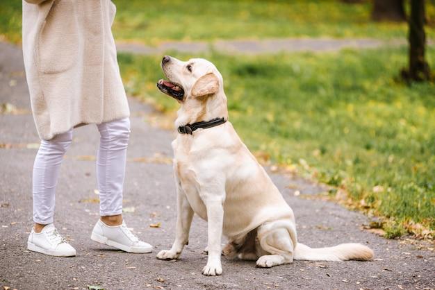 秋の公園のラブラドール。犬の訓練。