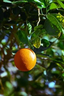 Свежее апельсиновое фруктовое дерево