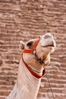 Гиза верблюд