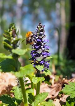 Конец-вверх шмеля собирая цветень от голубого цветка на весне. яркий солнечный день. концепция природы и весны