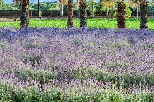 Одичалое поле цветков лаванды сирени в природном парке. весна, садоводство концепции.