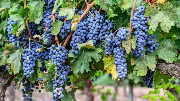 Зрелая лоза с зрелым фиолетовым виноградом на испанских виноградниках.
