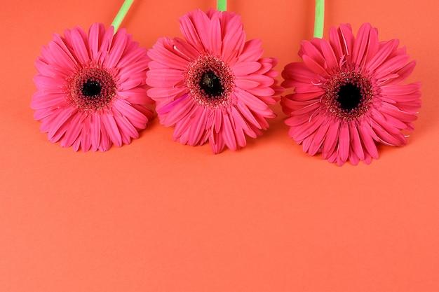 赤い背景のクローズアップにピンクの美しいガーベラ。テキストのためのスペース、フラットレイアウト。