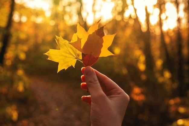 日当たりの良い光線で女性の手で黄色の葉。