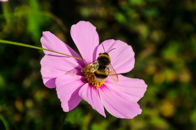 Трудолюбивый шмель работает на цветке - собирает пыльцу
