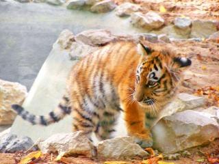 Ребенка амурского тигра