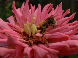 Пчела, розовый