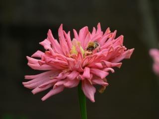 ハチは、マルハナバチ
