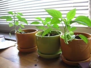 鉢植えチリ、チリ、パプリカ