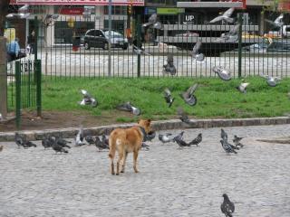 犬を追うハト