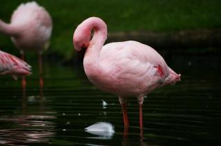ピンクのフラメンゴ