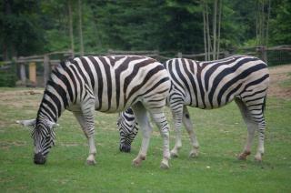 Зебры, черные