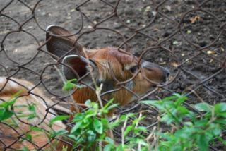 スラバヤ動物園で鹿