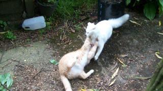 Кошки борьбе противостояние, имбирь
