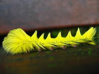鮮やかな黄色の幼虫