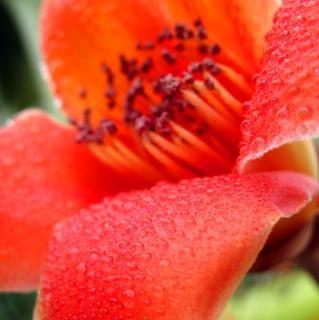 赤い絹綿の花