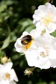 蜜を取って熊蜂