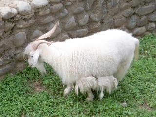 ヤギ、動物、農場