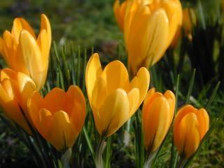 Весной крокусы