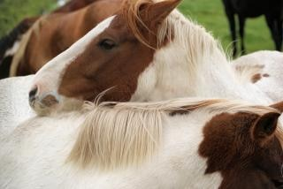オランダ、農場、自然の中で馬