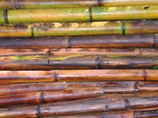 新鮮な竹の棒を切る