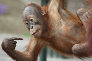 赤ちゃんオランウータン、サル