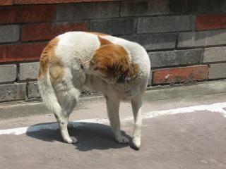 茶色と白犬