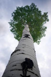 背の高いポプラの木