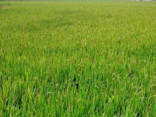 大規模な中国の田んぼ