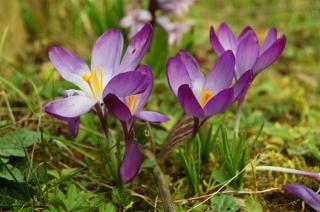 Крокус цветок