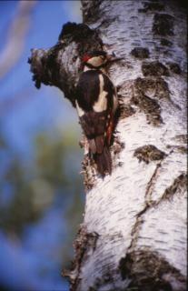 鳥、木、キツツキ