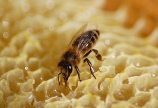 ミツバチ巣