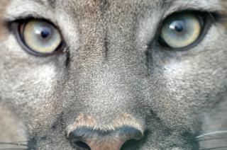ピューマの目