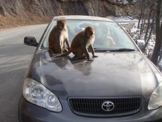 Обезьяны на автомобиле