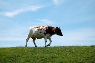 堤防上の牛