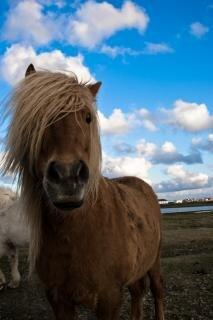 アイスランド馬、空