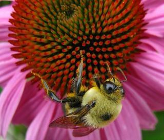 Эхинацеи пчелы, розовый