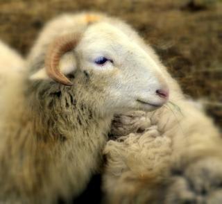 Овцы, шерсть