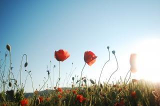 赤いケシの牧草地