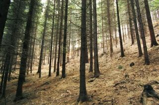 Еловый лес деревья