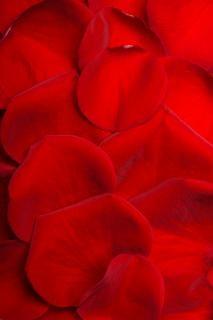 、婚約をバラの花びら