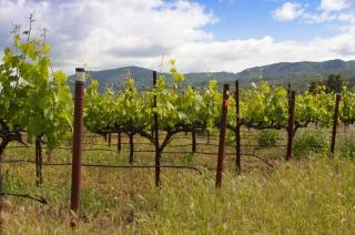 Напа виноградник