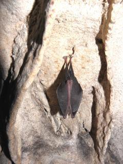 壁にコウモリの睡眠